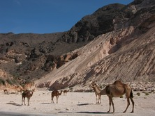 Arabien, Oman-Expeditionen - Kamele am Gebirgsrand
